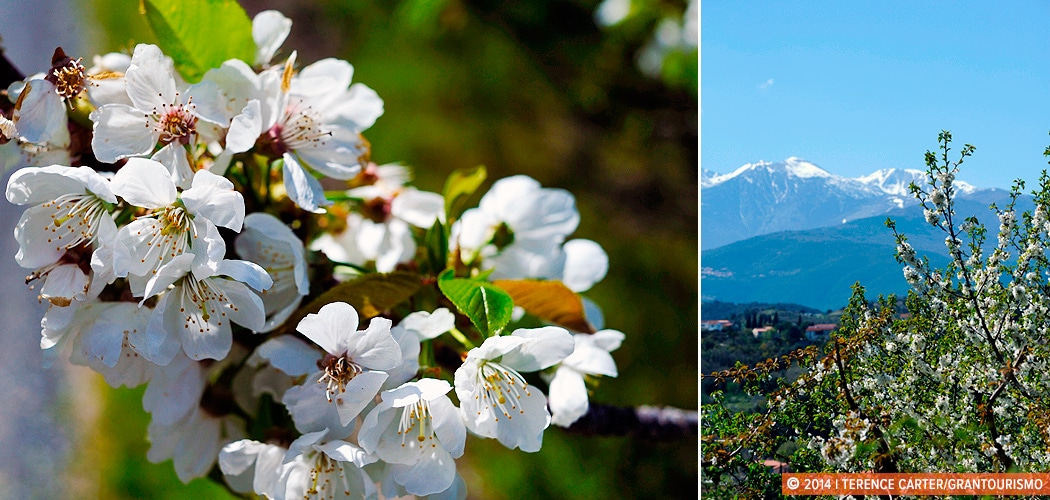 Cherry Blossoms, Céret, France. Copyright 2014 Terence Carter / Grantourismo. All Rights Reserved.