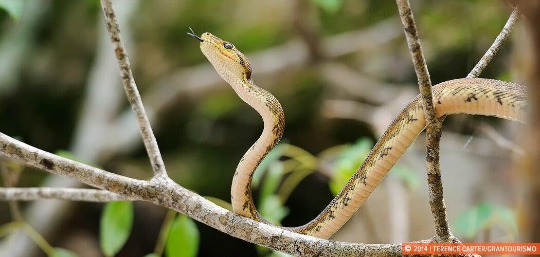 A snake in Manuel Antonio National Park, Manuel Antonio, Puntare