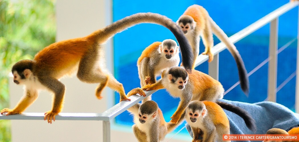 Monkeys in Manuel Antonio, Puntarenas, Costa Rica. Monkey Busine