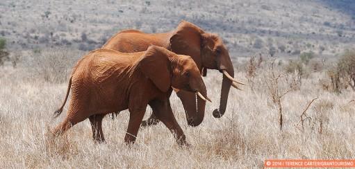 On Safari Again, to Sarova Salt Lick Game Lodge, Tsavo West