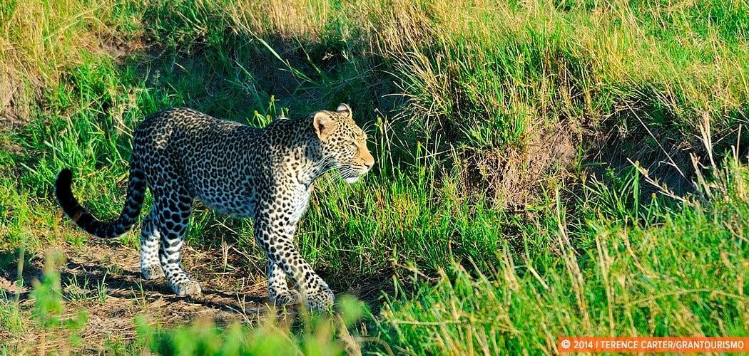 A Leopard at the Masai Mara. Masai Mara, Kenya.
