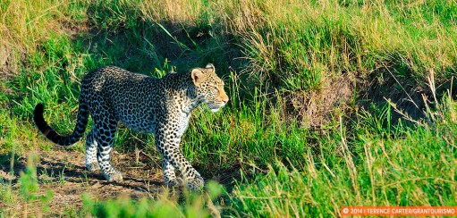 Ten Seconds with a Leopard at the Masai Mara