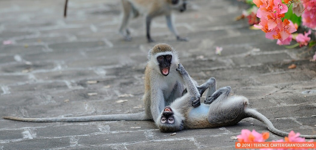 Monkeys in Mombasa, Kenya. Escape to Mombasa & Time for Reflecti