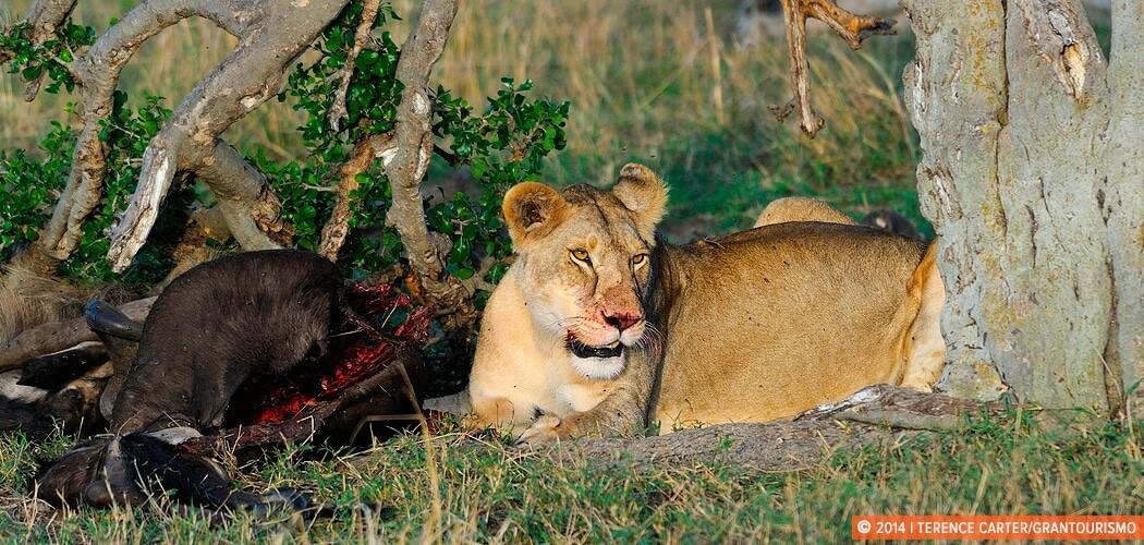 A lioness eats. On Safari in the Masai Mara, Kenya.