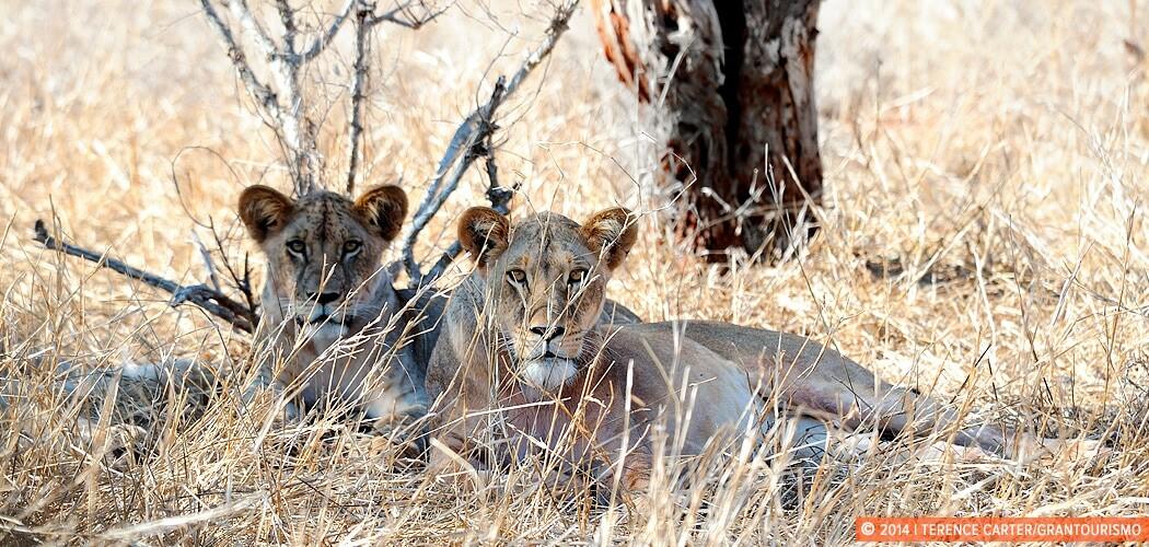 Sarova Salt Lick Game Lodge Safari close encounter with lions. K