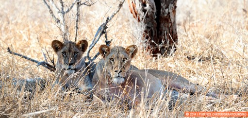 On Safari at Salt Lick —a Close Encounter with Lions
