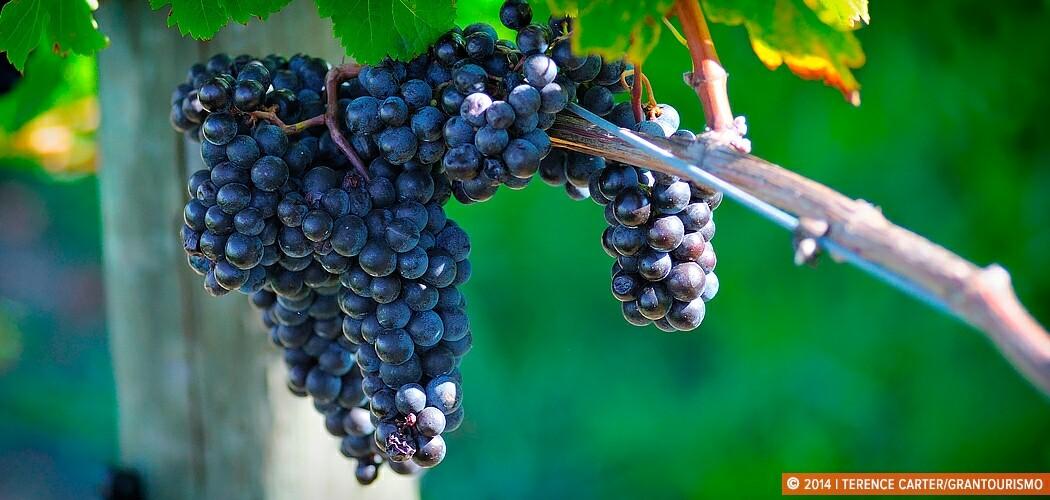 Grapes at Dominique Portet Winery, Yarra Valley, Victoria, Austr