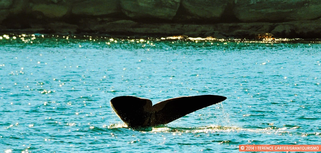 Whale Watching in Sydney, Australia. Copyright 2014 Terence Carter / Grantourismo. All Rights Reserved.