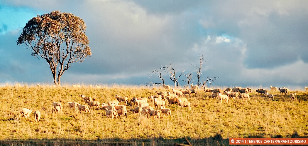 Sheep Grazing in Orange, NSW, Australia.