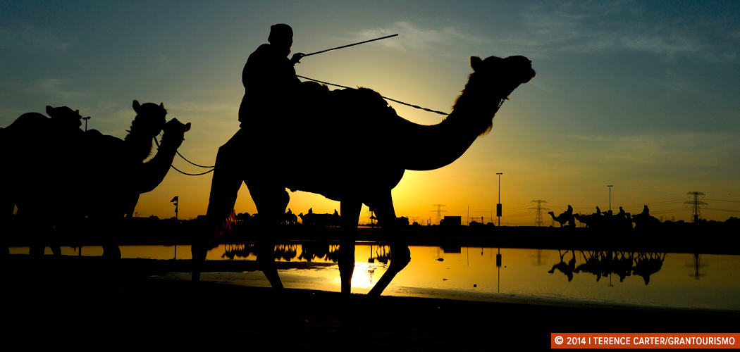 Training for Camel Racing, Dubai, UAE. Copyright 2014 Terence Carter / Grantourismo. All Rights Reserved.