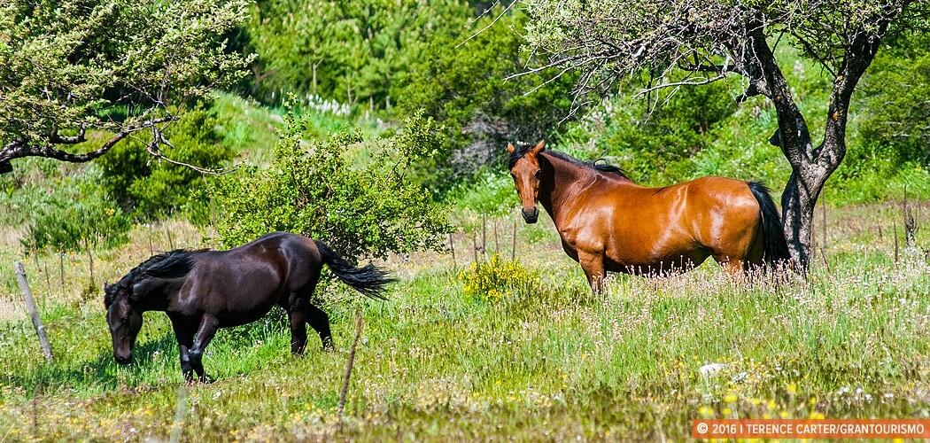 Wild horses in Sila National Park, Calabria, Italy.