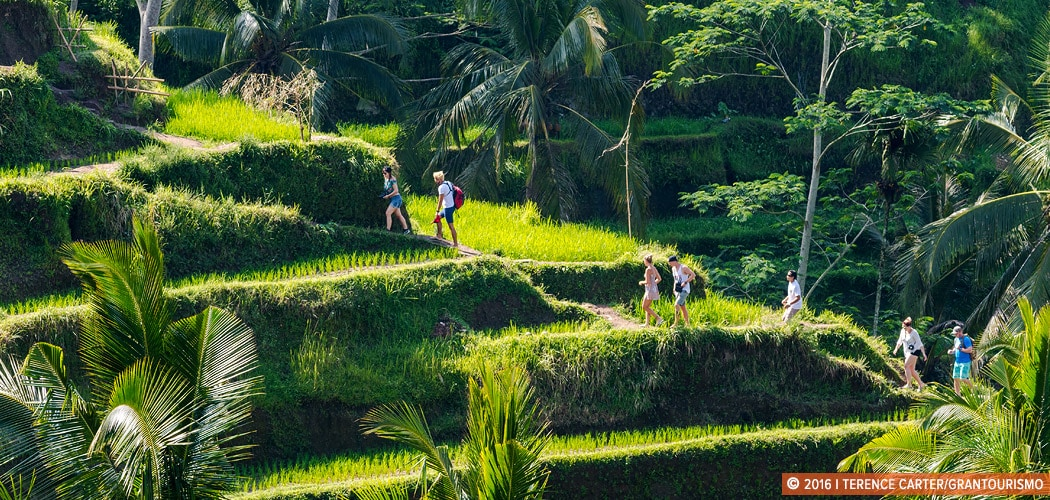 Rice terraces, Ubud, Bali, Indonesia. Copyright 2016 Terence Carter / Grantourismo.
