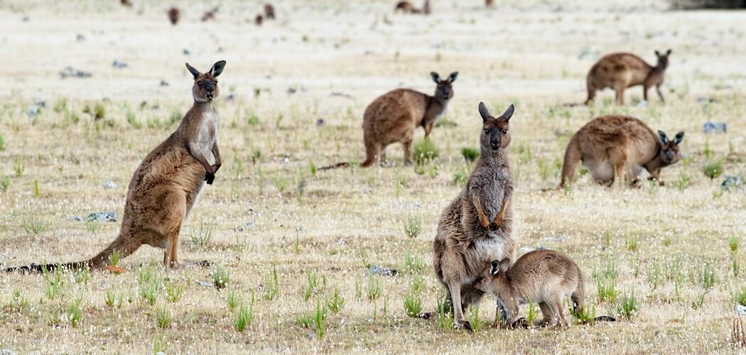 Kangaroos at Kangaroo Island, South Australia