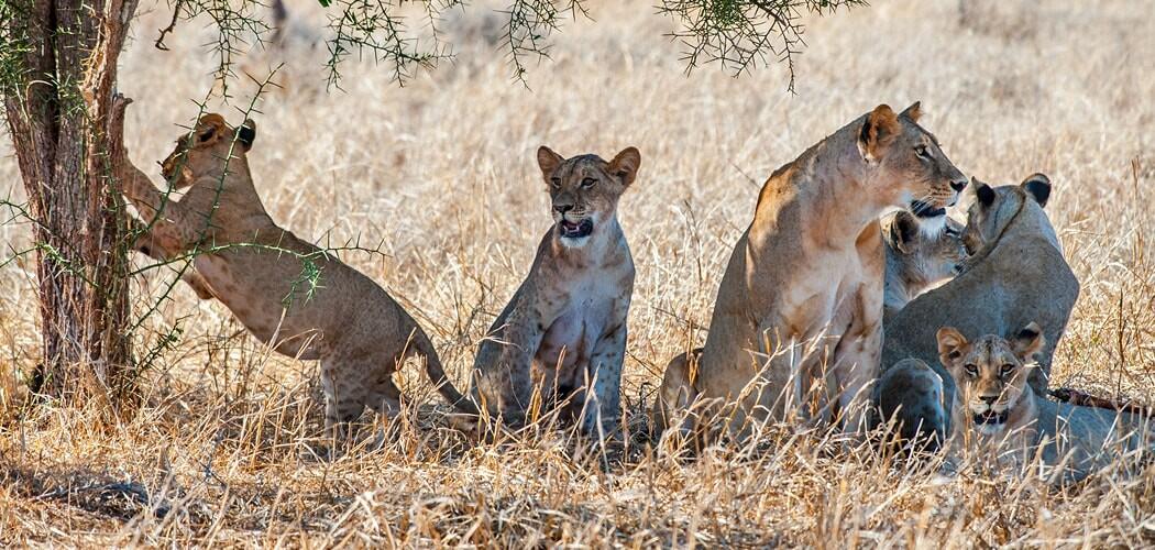 A pride of lions at Sarova Salt Lick Game Lodge, Tsavo West, Ken
