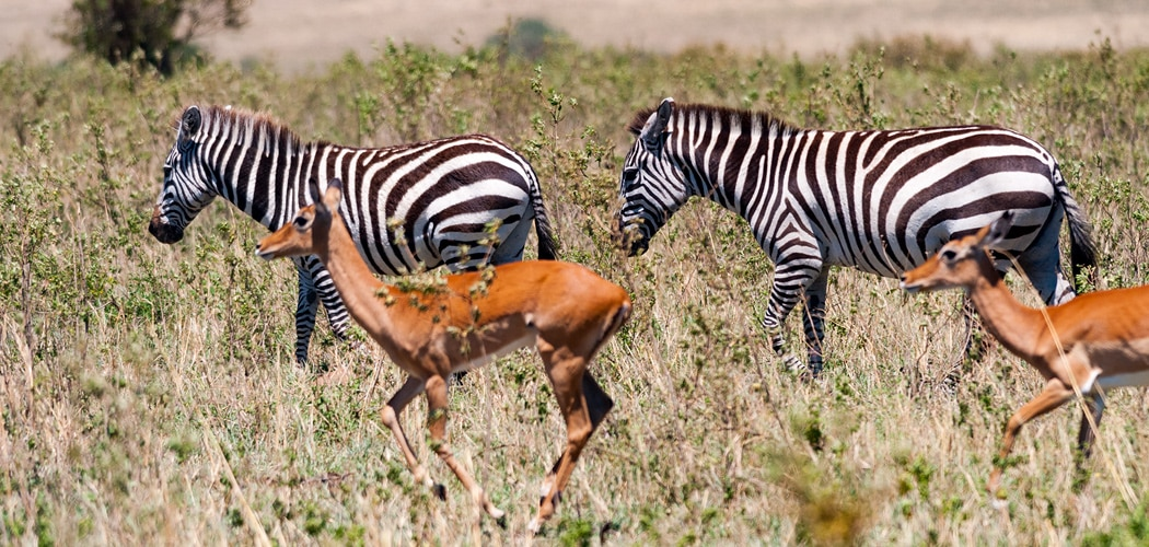 Zebras in the Masai Mara, Kenya. Copyright © 2018 Terence Carter / Grantourismo. All Rights Reserved. Things we can do to save wildlife.